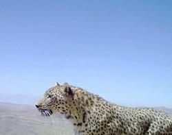پلنگ ایرانی پارک ملی بمو