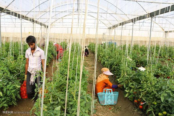 تغییر در ساختار کشاورزی ضروری است/ توسعه کشت گلخانهای