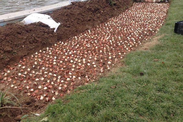 کاشت ۶۴ هزار پیاز  لاله در شمال تهران
