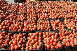 بیش از ۷ هزار تن گوجهفرنگی از کشاورزان خوزستانی خریداری شد