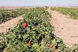 سبزیجاتی که طعم فاضلاب میدهند/تهدید بیماریهای میکروبی جدی است