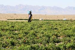 کاهش ۳۰ درصدی خسارت افزایش دما به محصولات کشاورزی خوزستان