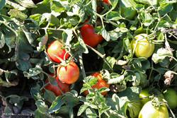 خرید حمایتی گوجه فرنگی در رودبار جنوب و کهنوج آغاز شد