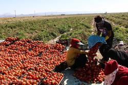سقوط آزاد قیمت گوجه فرنگی/ کشاورزان چشمانتظار یاری مسئولان هستند