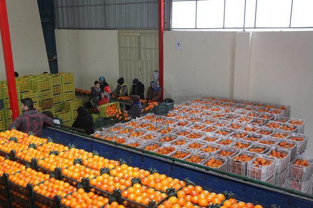 ۵۶۰ تن میوه شب عید در سطح شهرستان قزوین توزیع می شود,
