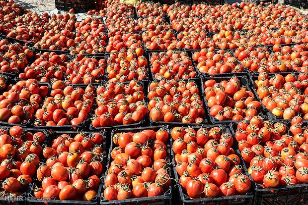 ۶۰ هزار تن محصول گوجه فرنگی از دشتی صادر شد