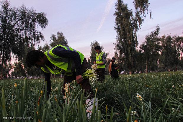 """İran'dan """"Nergis çiçeği hasadı"""" fotoğrafları"""