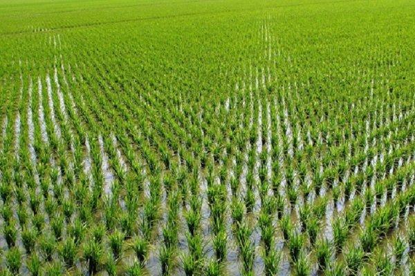وجود۲۷ درصدشالیزارهای گیلان در رشت/مدیریت آب بندان ها ضروری است