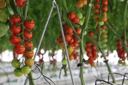 افزایش ۱۰ برابری تولیدات گلخانهای نسبت به فضای آزاد