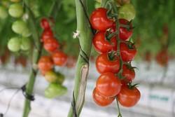 کشت گلخانه نیاز به اراضی کشاورزی را ۹۰ درصد کاهش میدهد