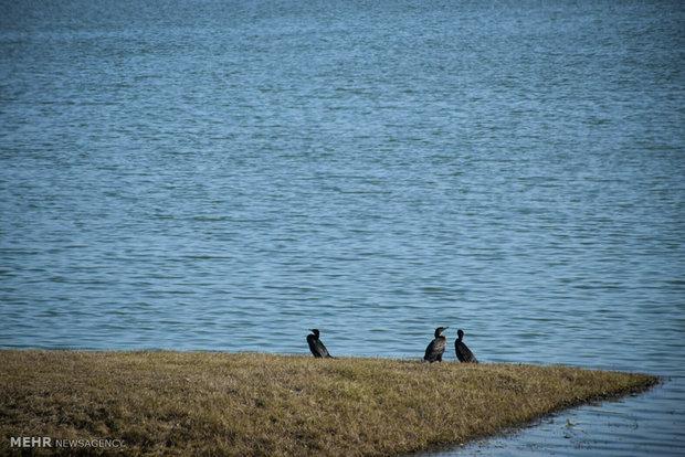 ورود پرندگان زمستانگذر به تالابهای چهارمحال و بختیاری