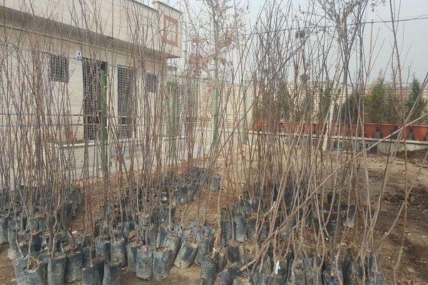 درخت هایی که به باغچه منازل هدیه شد/ نمی خشکم، غروری سبز دارم