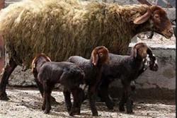 ۷۰۰۰ راس گوسفند افشاری در استان زنجان اصلاح شده است