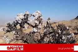 شکوفه های بادام در شهرستان نی ریز فارس