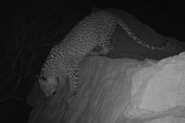 Four Persian leopards spotted in Firuzkuh
