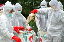 تایید ششمین کانون بیماری آنفلوآنزای فوق حاد پرندگان در کرمانشاه