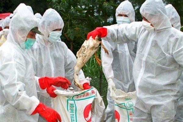 آنفلوانزای فوق حاد پرندگان - کراپشده