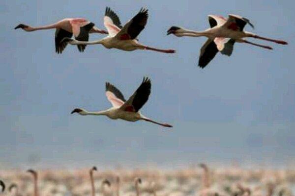 تالاب «حله» پذیرای پرندگان مهاجر است