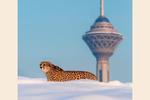 یوزپلنگ ایرانی و برج میلاد یهویی!