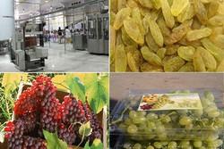 شهرستان ابهر رتبه اول در تولید انگور و کشمش درزنجان را دارد