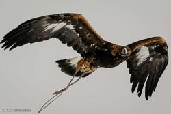تصویربرداری از عقاب دریایی دم سفید در یخاب/مشاهده عقاب استپی