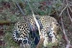 شکارچی پلنگ و گرگ در خراسان شمالی دستگیر شد