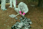آنفولانزای فوق حاد علت تلفات کبوتران اسلام آباد غرب نیست