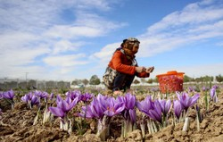 The photo is depicting a woman picking saffron at a farm in Bojnord, North Khorasan province, in October 2016. Photo by Vahid Khademi/IRNA