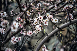 شکوفه های زمستانی