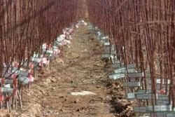 سالانه ۲۰ میلیون اصله نهال میوه در آذربایجان غربی تولید می شود