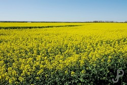 FAO assists Iran to strengthen capacities toward sustainable growth of oilseed crops