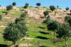 کاشت نهال و درخت کنار در ۵۰ هکتار از اراضی تنگستان