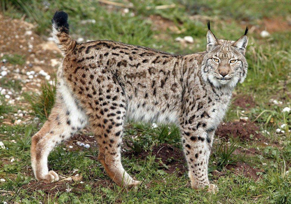مشاهده ۸ گونه گربهسان کشور در استان خراسان جنوبی