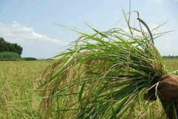 مبارزه با علف های هرز در سطح ۴ میلیون هکتار از مزارع کشور