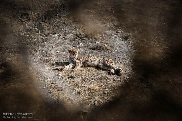 IUCN member declares Iran 'Cheetah Project' a failure