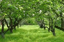 درختان باغی - کراپشده