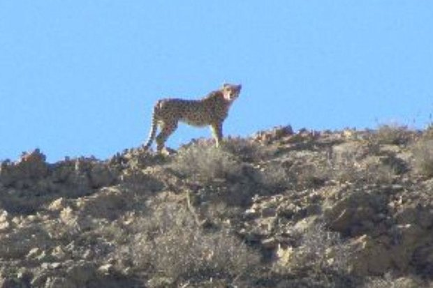 4 Asiatic cheetahs spotted in Touran Biosphere Reserve