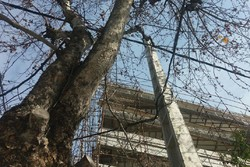 پیکار نابرابر سیمهای برق و شاخهها/ هرس غیراصولی بلای جان درخت