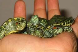 فروشنده بچه لاکپشتهای وارداتی در همدان دستگیر شد