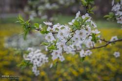 شکوفهباران درختان یزد در سردترین فصل سال/تجربه چهارفصل در یکروز