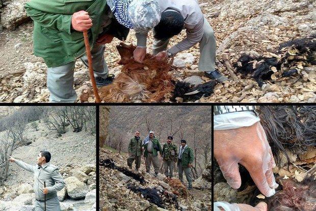 ماجرای دامدار لرستانی دوستدار محیطزیست و حمله پلنگ به دامهایش