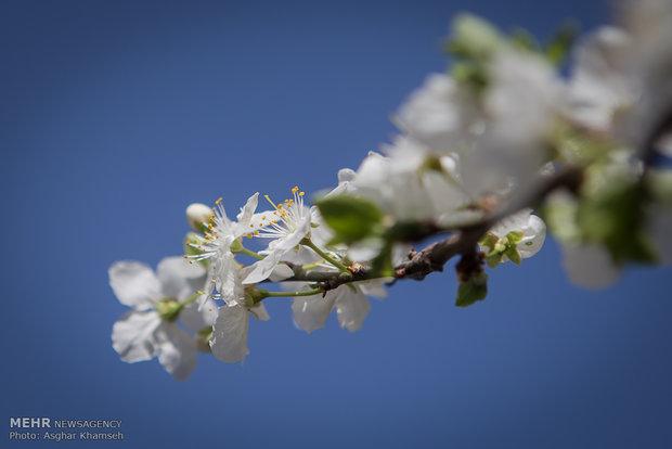 شکوفه های بهاری در پایتخت