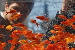 ۴میلیون قطعه ماهی زینتی در واحدهای تکثیر وپرورش آبیک تولید می شود