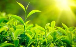 حذف مالیات بر ارزشافزوده برای چای و برنج در برنامه ششم توسعه