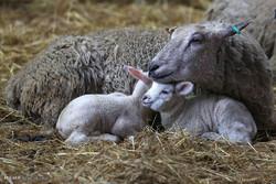 حیوانات میں مادری احساس