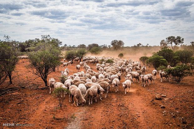 صنعت دامداری و کشاورزی استرالیا