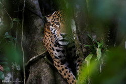برازیل میں چیتوں کا اپنی حفاظت کے لئےدرختوں پر چڑھنا