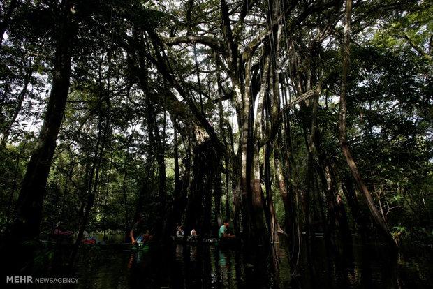 پناه بردن پلنگ های برزیلی به بالای درختان