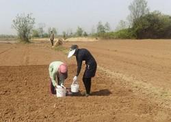۱۰ تن بادام زمینی از اراضی کوثر برداشت میشود