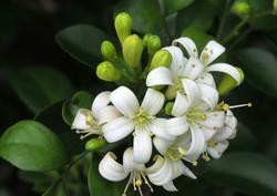امسال ۵۵۰ تن شکوفه بهار نارنج در گیلان برداشت می شود